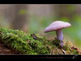 lepista nuda by kodo34, Photography->Mushrooms gallery