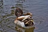 Mallardish by slybri, Photography->Birds gallery