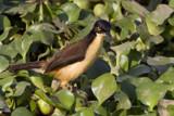 Black Capped Donacobius by jeenie11, photography->birds gallery