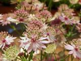 Astrantia Major by trixxie17, photography->flowers gallery