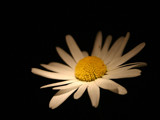 advent from nightfall by monkeypuzzle, Photography->Flowers gallery