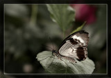 Butterfly Thirty Three by Jimbobedsel, Photography->Butterflies gallery