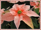Peachy Poinsettia by trixxie17, holidays->christmas gallery