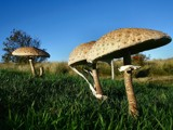 Giants by Paul_Gerritsen, Photography->Mushrooms gallery