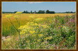 Summer Wildflowers 09 by corngrowth, Photography->Landscape gallery