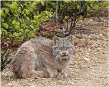 Bobcat by photoeye68, photography->animals gallery