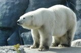 Polar Bear @ Toronto Zoo by DarkSynergy, Photography->Animals gallery