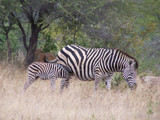 Raising Stripes by SusanVenter, Photography->Animals gallery