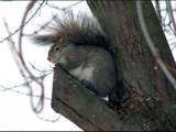 Grey Squirrel by dwdharvey, Photography->Animals gallery