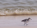 Sandpiper and wave by nature_faerie, Photography->Animals gallery