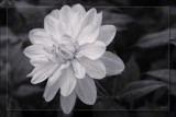 B&W Dahlia by LynEve, photography->flowers gallery