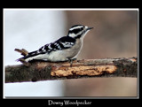 Downy Woodpecker 2 by gerryp, Photography->Birds gallery