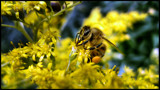 busy as a bee by Mannie3, photography->insects/spiders gallery