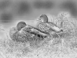 Ducks In Sketch by bfrank, photography->manipulation gallery