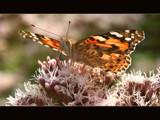 snub-nosed fellow by ekowalska, Photography->Butterflies gallery