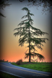 Lone Cedar by Mvillian, photography->sunset/rise gallery