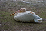 Pelican by Ramad, photography->birds gallery