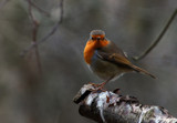 Cock Robin by biffobear, photography->birds gallery