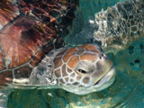 Sea Turtle by jeremy_depew, Photography->Animals gallery