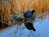 Home of the coots by owldgirl, photography->birds gallery