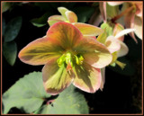 Hellebores by trixxie17, photography->flowers gallery