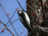downy woodpecker by unconciousepiphany, photography->birds gallery