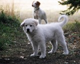 Great Pyrenees Puppy by weebeadyeyes, Photography->Pets gallery