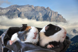 Mountain ginnie purse pigs by Paul_Gerritsen, Photography->Pets gallery