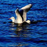 Gull 4 by braces, Photography->Birds gallery