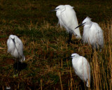 The Little Egret #3 by tigger3, photography->birds gallery