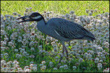 Yellow-Crowned Night Heron by allisontaylor, Photography->Birds gallery