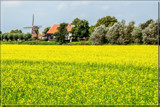Dutch Rapeseed Field 1 by corngrowth, photography->landscape gallery