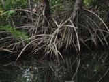 Mangrove trees by musictw, Photography->Shorelines gallery