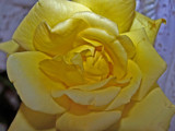 Bright yellow rose by thebitchyboss, Photography->Flowers gallery