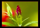 uncurling, unfurling by JQ, Photography->Flowers gallery