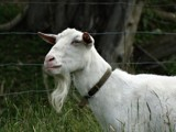 GOAT 2 by picardroe, photography->animals gallery