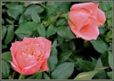Mini Peach by trixxie17, photography->flowers gallery