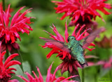 Hummingbird Among The Bee Balm #3 by tigger3, photography->action or motion gallery