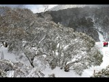 Snow Gums by Steb, photography->landscape gallery