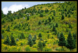 Christmas Trees Festooned with Goldenrod by phasmid, Photography->Landscape gallery