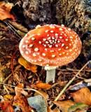 flyagaric by Lin_O, photography->mushrooms gallery