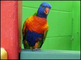One-Legged Lorakeet by Galatea, photography->birds gallery
