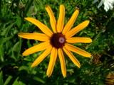 SunBurst Daisy by katsmeoww, Photography->Flowers gallery