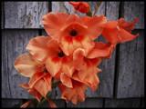 Hocks AKA Gladiolus by phasmid, Photography->Flowers gallery