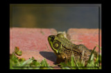 Ribbit - Ribbit! by tigger3, Photography->Animals gallery