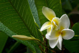 plumeria by jeenie11, Photography->Flowers gallery