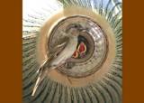 Open Wide by rzettek, Photography->Birds gallery