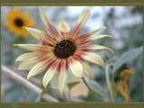 Sun - It Does a Flower Good by tielji, Photography->Flowers gallery