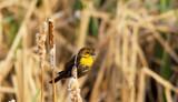 Yellow Headed Blackbird by doughlas, photography->birds gallery