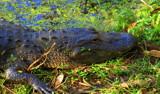 Pensive by GomekFlorida, photography->reptiles/amphibians gallery